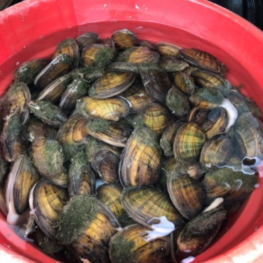 Freshwater mussels ready for transport from McCulloch Park.